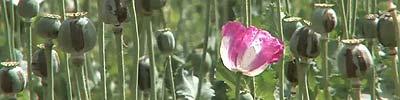 Opium Brides Text